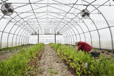 A large commercial horticultural polytunnel with fans in the ceiling, and plants growing in the