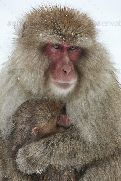 Japanese Macaque (Macaca fuscata) mother and young huddling together for warmth in the winter snow.