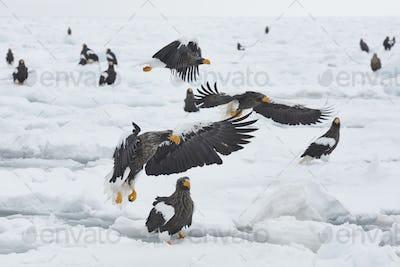 Steller's Sea Eagle (Haliaeetus pelagicus) on frozen bay in winter.