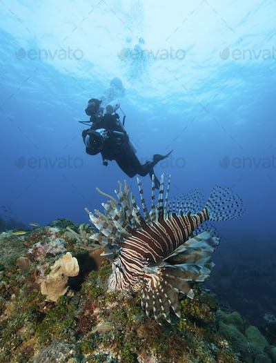 A scuba diver swimming above a Lionfish, a non endemic species known to be a marine menace