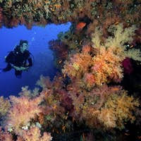 Scuba diver poses amid a plethora of marine life, vibrant soft corals (Dendronephthya sp.) and