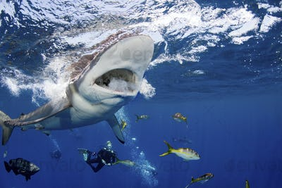 A large Silky shark with its mouth wide open, and divers swimming around it.