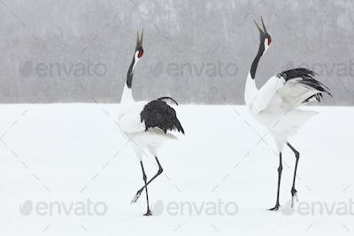 Red-Crowned Cranes (Grus japonensis) standing in the snow in winter.