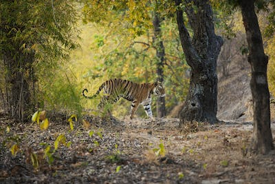 Tiger, Bandhavgarh National Park, Madhya Pradesh, India