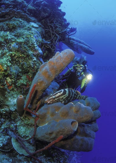 Diver illuminating a Nassau grouper resting on a cluster of Brown tube sponges under the water.