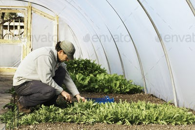 A gardener tending rows of seedlings and edible leaves in a polytunnel.