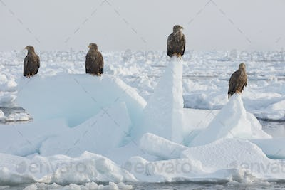 White-Tailed Eagle (Haliaeetus albicilla) on frozen bay in winter.
