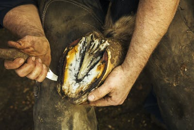 A farrier bending and holding a horse's hoof and paring and clearing the underside.