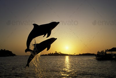Atlantic bottlenose dolphin, Tursiops truncatus, frolic at sunset, Anthony's Key Resort,