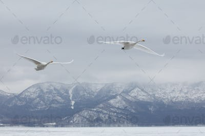 Whooper Swan (Cygnus cygnus) mid-air in winter.