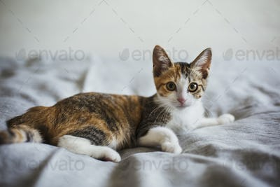 Close up of calico cat with white, red and black patches lying on a bed.