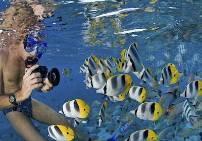 A snorkel diver taking a photograph underwater of bright yellow and black tropical fish, in the