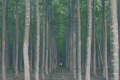 A plantation of poplar trees, a commercial tree farm. Tall straight trunks and vivid green tree