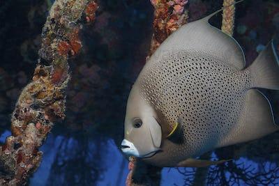Gray angelfish at the  Aquarius habitat , an underwater research station.,Gray angelfish