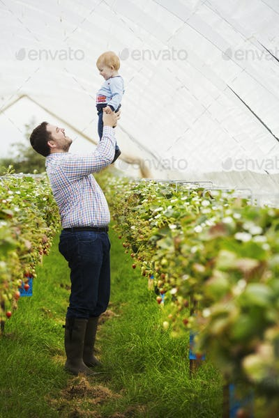 Fruit picking in a poly tunnel, PYO. A man holding his baby son above his head, in a polytunnel of