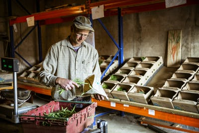 Farmer standing in a farm shop, weighing and bagging fresh green beans.