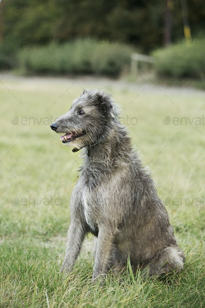 Scottish Deerhound sitting in a field.