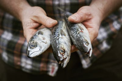 Close up of a chef holding a three fresh Mackerel in his hands.