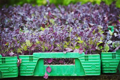 A tray full of seedlings.