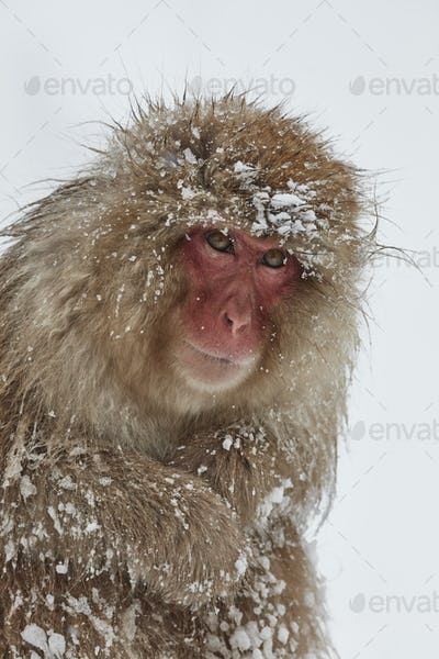 Japanese Macaque (Macaca fuscata) in the winter snow