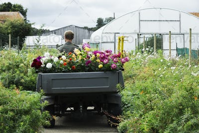 A man driving a small garden vehicle along the path between flowerbeds, loaded with cut flowers for