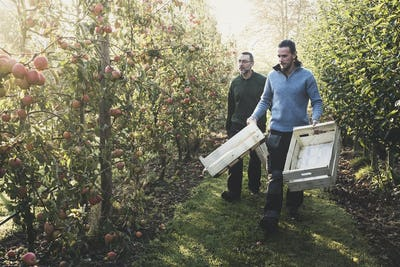 Two men walking in apple orchard, carrying wooden crates. Apple harvest in autumn.