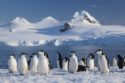 Chinstrap penguins on Half Moon Island, in the South Shetland Islands, Antarctica