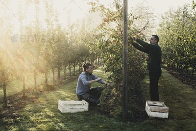 Two men in apple orchard, picking apples from tree. Apple harvest in autumn.