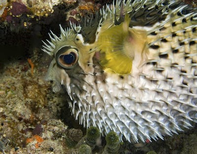 Black-botched porcupinefish inflates his body as a defense against predators. Defensive behavior of