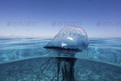 Over/under view of a Man of War, also known as Portuguese Man of War, Physalia physalis. The Man of