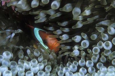 Clownfish snuggled in anemone.