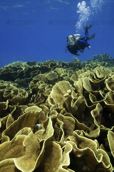 A scuba diver swims over a lush and healthy field of Cabbage, or Lettuce coral (Turbinaria