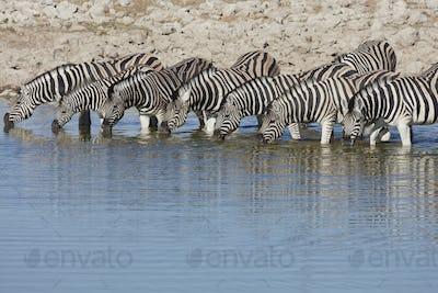 Burchell's zebra, Equus quagga burchellii, standing in watering hole drinking.