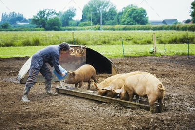 A woman pouring a bucket into a trough for a group of pigs.
