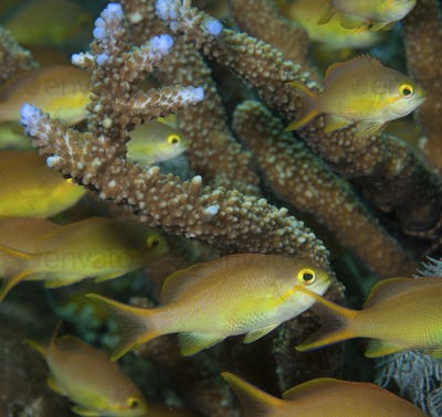 Female Threadfin anthias flit among branches of Staghorn coral at a dive site known as Cherrie's