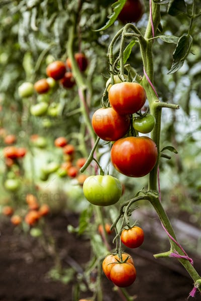 Close up of green and red tomatoes on a vine.