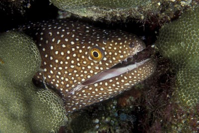 Moray eel in reef crevice, head and eye emerging from undercover.