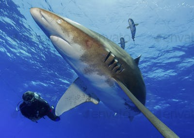 Scuba diving with Oceanic Whitetip Shark, Carcharhinus longimanus.