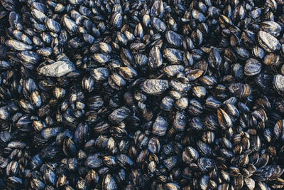 Close up of dense grouping of mussels (shellfish), McClures Beach, Point  Reyes National Seashore,