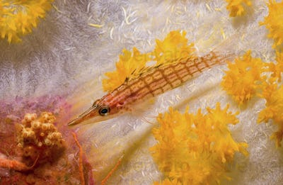 A Longnose Hawkfish, Oxycirrhites types, rests on a stalk of soft coral, Papua New Guinea