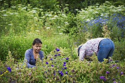 Two women working in a flowerbed, cutting plants.