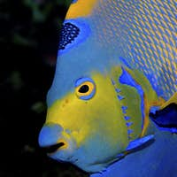 Vibrant colors and detail shown via a closeup picture of a Queen Angelfish, Holacanthus ciliaris.