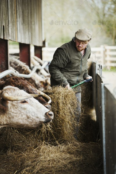 A farmer with a pitchfork of hay, feeding a row of longhorn cattle in a barn.
