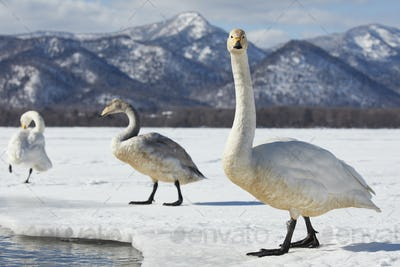 Whooper Swan (Cygnus cygnus) on frozen bay in winter.