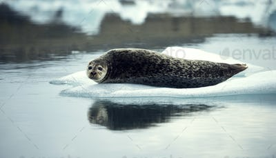 Grey seal (Halichoerus grypus) lying on an ice floe in Arctic waters.