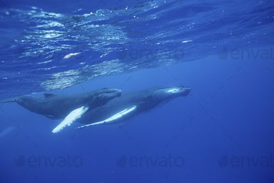 Female Humpback whale (Megaptera novaeangliae) and her calf swimming through in the waters of the