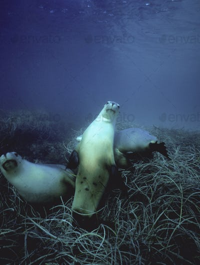 Australian sea lions swimming above the seabed in the waters of the southern ocean.