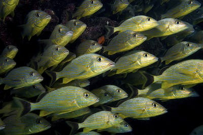 Bluestriped grunt, Haemulon sciurus, Florida Keys.  Grunts often school for protection from
