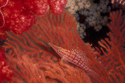 Longnose hawkfish swimming over the surface of a gorgonian