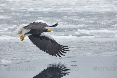 Steller's Sea Eagle (Haliaeetus pelagicus) mid-air, winter.